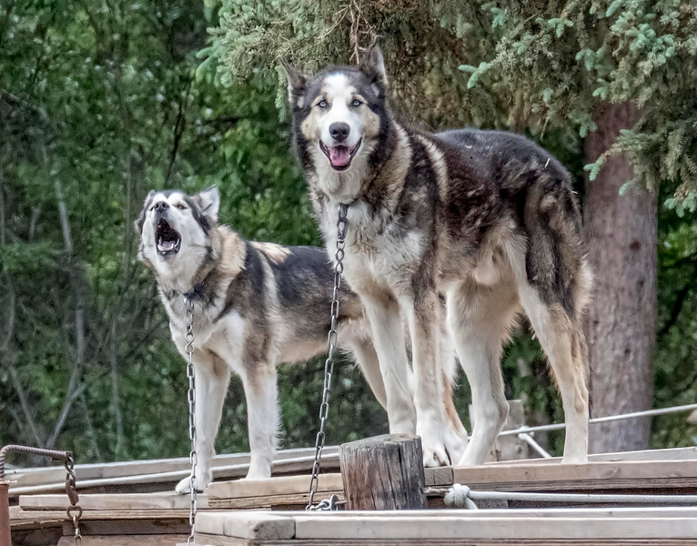 Sled Dogs on Summer Hiatus, Denali National Park