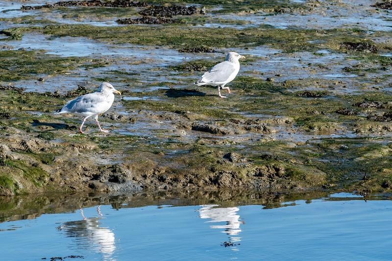 Gulls and the ebb-tide-27.jpg