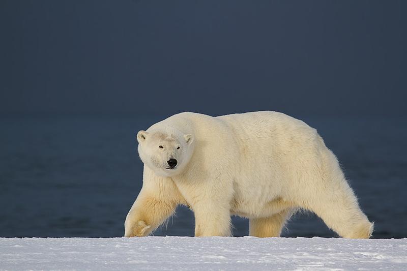 Alaska Polar Bear Photo Workshop-11.jpg