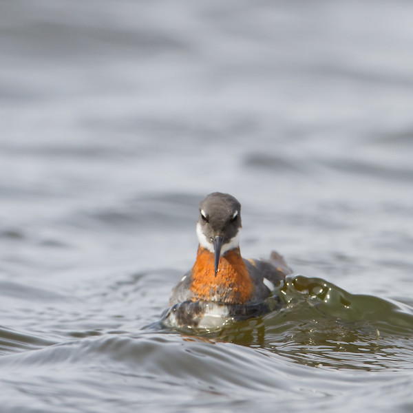 Red-necked Phalarope - Nome, AK, USA