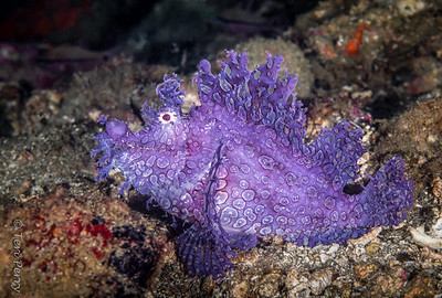FISH - Rhinopias weedy purple-