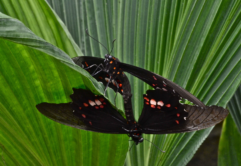 Pair of copulating Swallowtail Butterflys (Parides sp.)