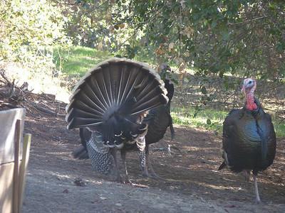 2010-11-15- turkeys