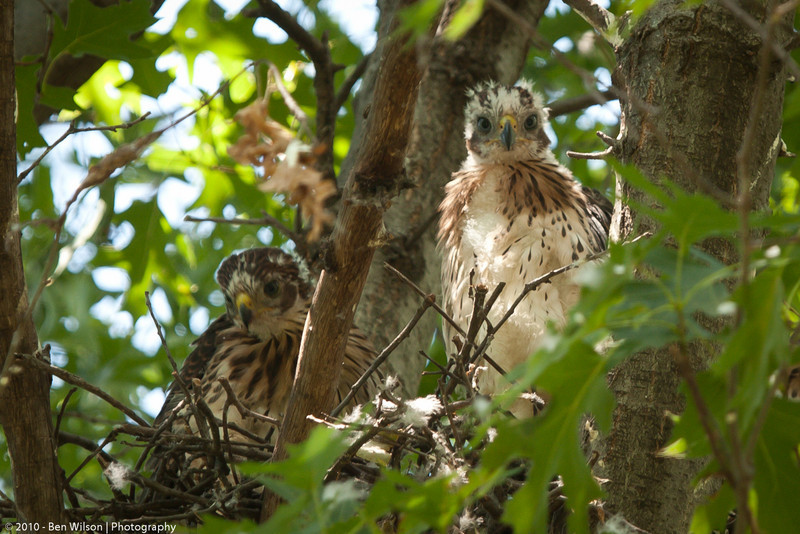 Coopers Hawk (young)