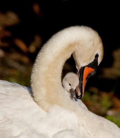 April 8, 2009 - Mute Swan Nest on Murrell Rd In Viera, FL