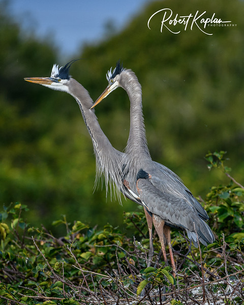 Great Blue Heron-9830.jpg