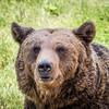 Old Bear Portrait, Zărnești, Romania