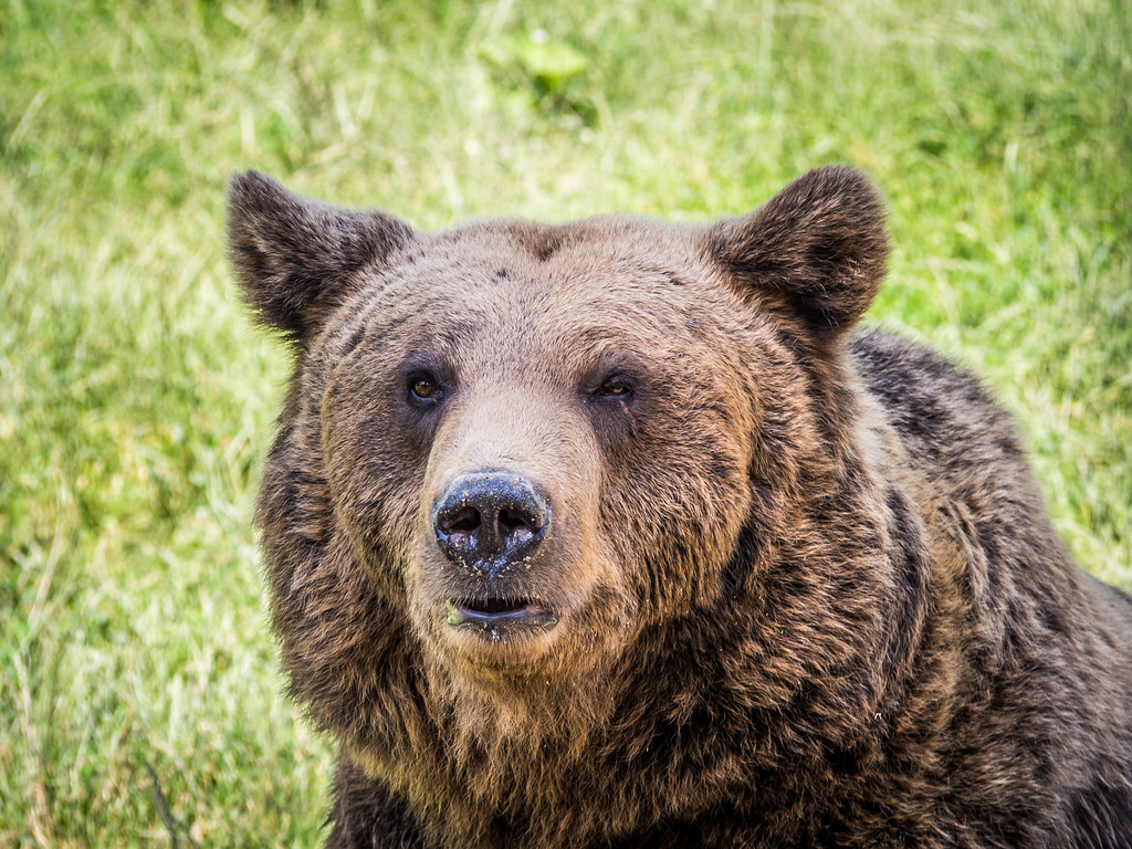 Old Bear Portrait, Zărnești, Romania