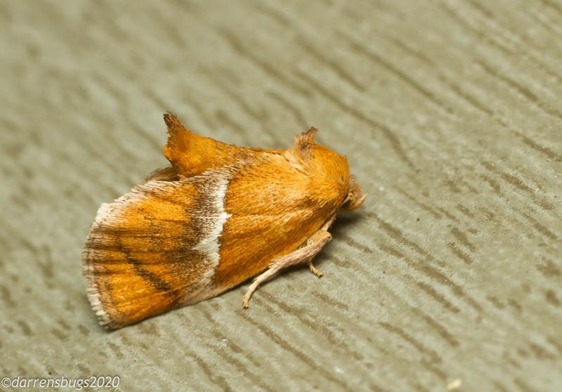 Slug caterpillar moth, Lithacodes sp, probably L. fasciola.