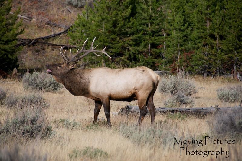 Yellowstone NP - more bugling