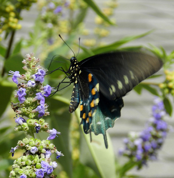 Swallow Tail on Vitex.jpg