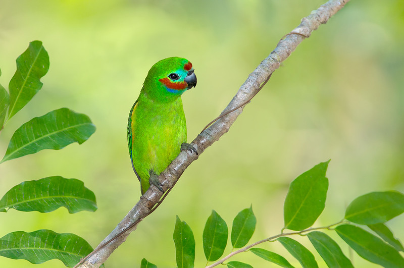 Double-eyed Fig Parrot - Cyclopsitta diophthalma (Clifton Beach, Qld)