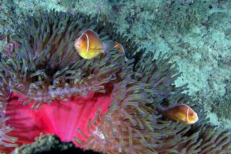 Pink Anenome Fish 5.jpg