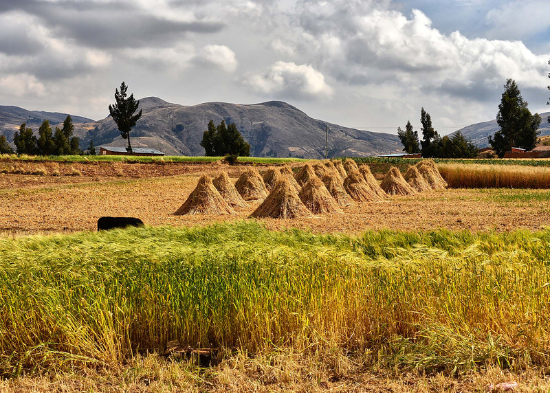 BOV_3110-8x5-Wheat Field.jpg
