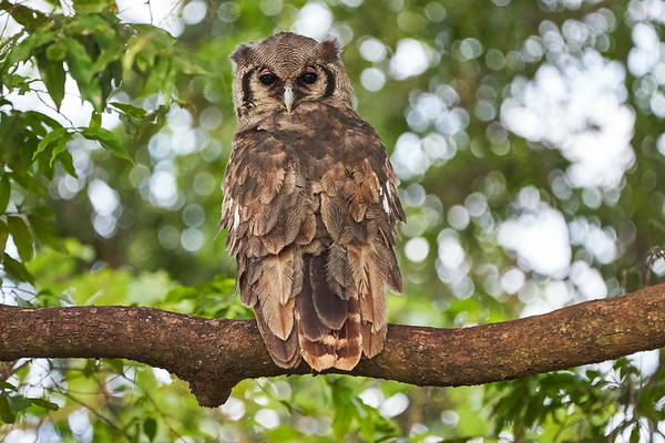 Vereaux's Eagle Owl Mara Kenya 2018