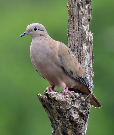 Caribbean Birding Trail - Doves