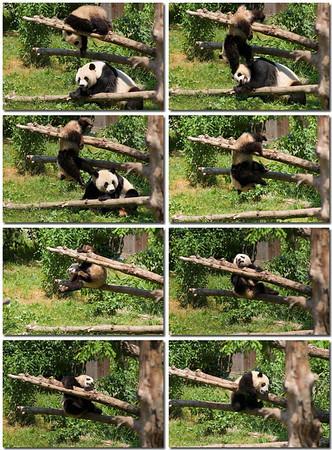 DC Zoo Pandas