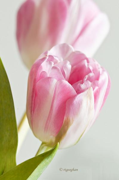 April 17_ Pink Tulips_1574.jpg