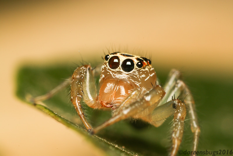 Jumping spider, genus Thiodina, from Belize.