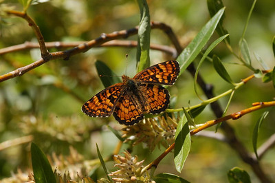 Crescent, Checkerspots