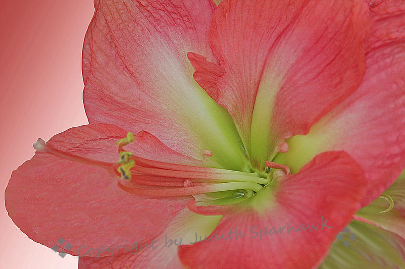 Pink Lily ~ A beautiful lily from the Redlands flower show.  I used a gradient background to complete the image.