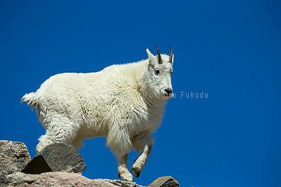 Mountain goat シロイワヤギ