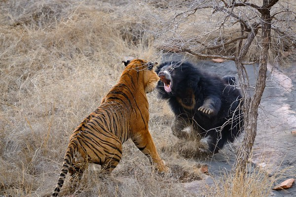 bear tiger fight, ranthambhore, ranthambore