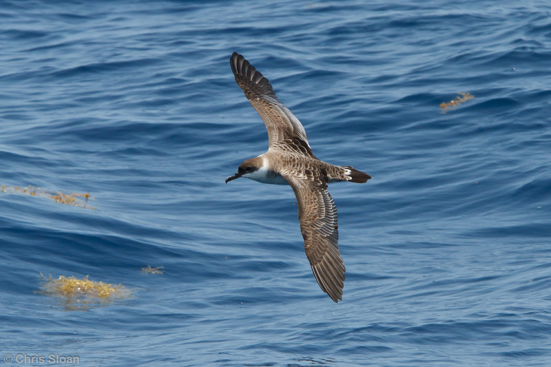 Great Shearwater at pelagic trip off Hatteras, NC (06-04-2011) - 008.jpg