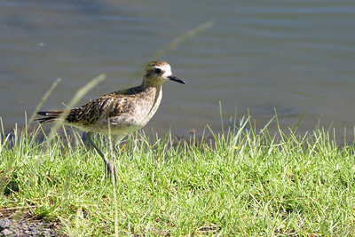 Pacific Golden Plover December 2012, Cynthia Meyer, Hawaii