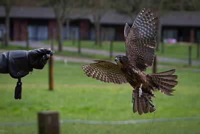Wingspan Karearea Falcon