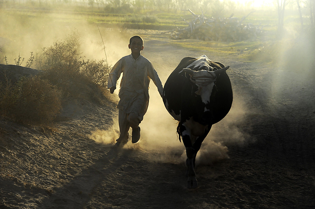 . An Afghan child walks with his cow ahead of the sacrificial Eid al-Adha festival in Herat on October 2, 2014. Muslims across the world are preparing to celebrate the annual festival of Eid al-Adha, or the Festival of Sacrifice, which marks the end of the Hajj pilgrimage to Mecca and commemorates Prophet Abraham\'s readiness to sacrifice his son to show obedience to God. Aref Karimi/AFP/Getty Images