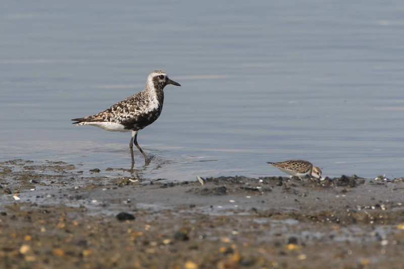 Black-bellied plover, molting to winter plumage