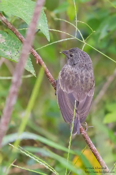 Medium Tree-Finch - Isla Floreana, Galapagos, Ecuador