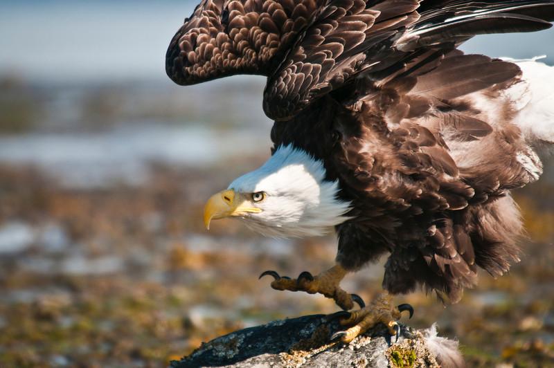 Ready to Launch Bald Eagle Homer, Alaska © 2010