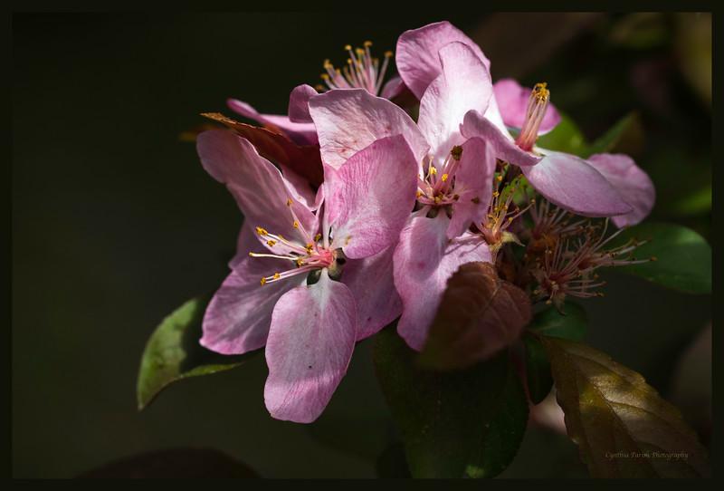 Crabapple Blossoms_clp_664A6898.jpg