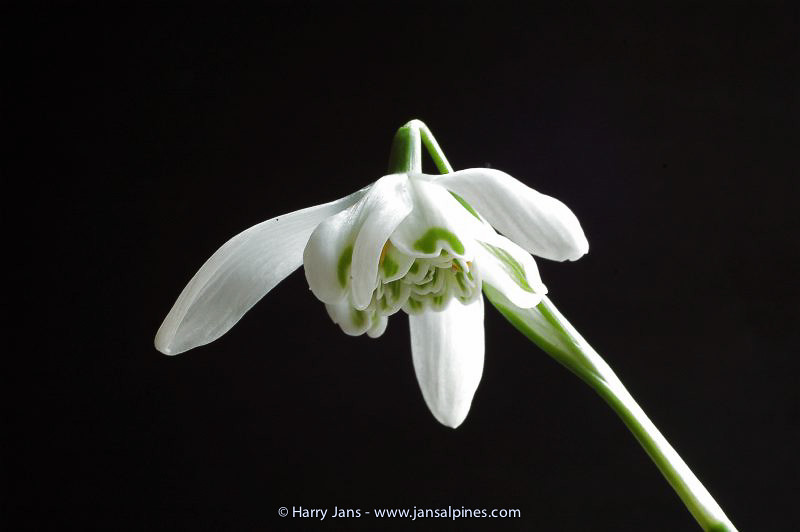 Galanthus nivalis 'Flore Pleno