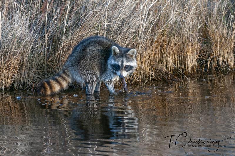 Raccoon in the Reeds 12182019 2.jpg