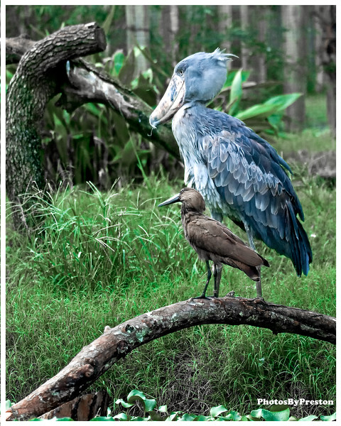 "The Shoebill, Balaeniceps rex, also known as Whalehead, is a very large bird related to the storks. It derives its name from its massive shoe-shaped bill.  The Shoebill is a very large bird, averaging 1.2 metres (4 ft) tall, 5.6 kilograms (12.3 lbs) and a 2.33 metres (7.7 ft) wingspan. The adult is mainly grey while the juveniles are browner. It lives in tropical east Africa in large swamps from Sudan to Zambia.  This species was only discovered in the 19th century when some skins were brought to Europe. It was not until years later that live specimens reached the scientific community. However, the bird was known to both ancient Egyptians and Arabs. There are Egyptian images depicting the Shoebill, while the Arabs referred to the bird as abu markub, which means one with a shoe, a reference to the bird's distinctive bill.  Shoebills feed in muddy waters, preying on lungfish and similar fish. They nest on the ground and lay 2 eggs.  The population is estimated at between 5,000 and 8,000 individuals, the majority of which live in Sudan. BirdLife International have classified it as Vulnerable with the main threats being habitat destruction, disturbance and hunting.  The Shoebill is one of the bird taxa whose taxonomic treatment is murky. Traditionally allied with the storks (Ciconiiformes), it was retained there in the Sibley-Ahlquist taxonomy which lumped a massive number of unrelated taxa into their ""Ciconiiformes"". More recently, the shoebill has been considered to be closer to the pelicans (based on anatomical comparisons; Mayr, 2003) or the herons (based on biochemical evidence; Hagey et al., 2002). The fossil record does not shed much light on the issue, as usual when dealing with birds. So far, two fossil relatives of the shoebill have been described: Goliathia from the early Oligocene of Egypt and Paludavis from the Early Miocene of the same country. It has been suggested that the enigmatic African fossil bird Eremopezus was a relative too, but the evidence for that is very spurious indeed. All that is known of Eremopezus is that it was a very large, probably flightless bird with a flexible foot, allowing it to handle either vegetation or prey.  Hammerkop: The Hammerkop (Scopus umbretta), also known as Hamerkop, Hammerhead, Hammerhead stork, or Anvilhead, is a medium-sized (56 cm) bird with a long shaggy crest. The shape of its head with a curved bill and crest at the back is reminiscent of a hammer, hence its name. Its plumage is a drab brown all over. Head closeup Head closeup  It occurs in Africa south of the Sahara, Madagascar and southwest Arabia in all wetland habitats, including rice paddies. Normally it is seen alone or as a pair. The food is typical of long-legged wading birds, including fish, frogs, rodents and similar small animals.  It builds a huge haystack-like stick nest nearly 2 m across in a tree fork, and lays 3 to 6 eggs. The nest is reused each year, getting larger and larger as the Hammerkop renovates it. The entrance to the nest remains at the bottom, to deter potential predators. The Hammerkop has a noisy call.  The Hamerkop is usually included in the Ciconiiformes, but might be closer to the Pelecaniformes[citation needed]. It constitutes a family (Scopidae) and genus (Scopus) all on its own because of its unique characteristics."