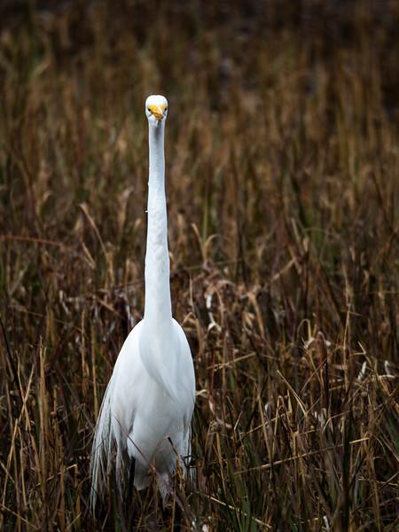Great Egret in Marsh Vertical