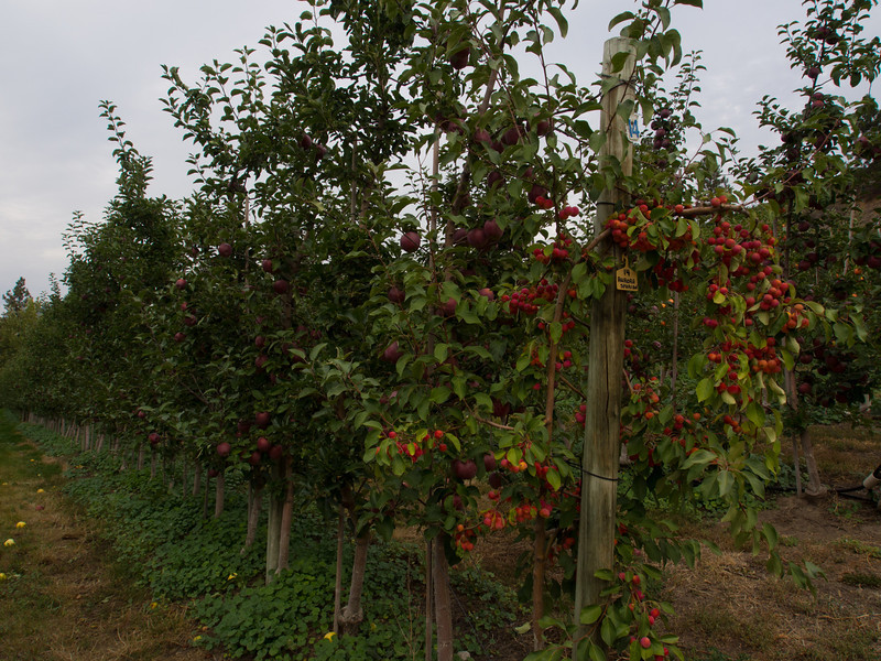 farm apples rows.jpg