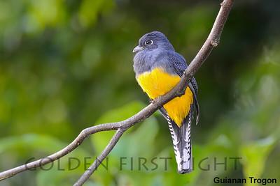 Guianan Trogon, Asa Wright, Trinidad & Tobago