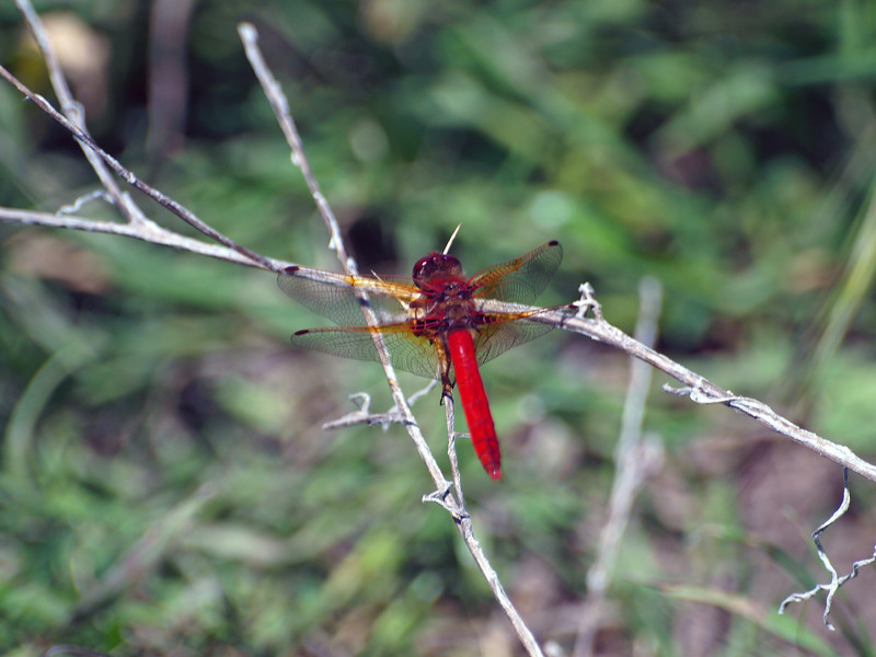 Dragonfly, Briones