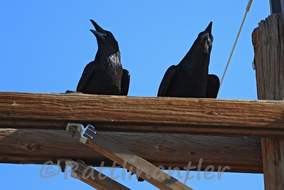 Chihuanhuan Ravens