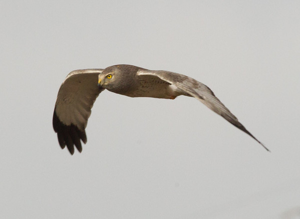 Northern Harrier (Circus hudsonius)