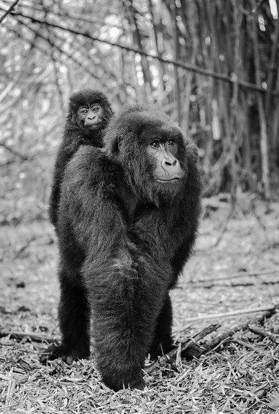 Rwanda-gorilla-and-baby-walking.jpg