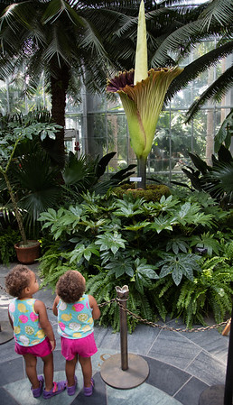 Giant CorpsePlant Blooms at US Botanic Garden (Aug 2, 2016)