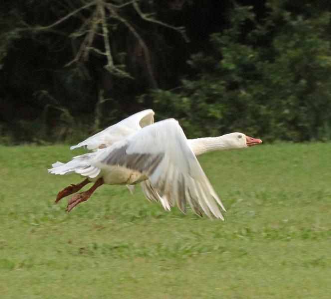 White goose 3