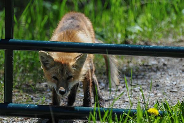 6 2013 Jun 12 Scrawny Red Fox*