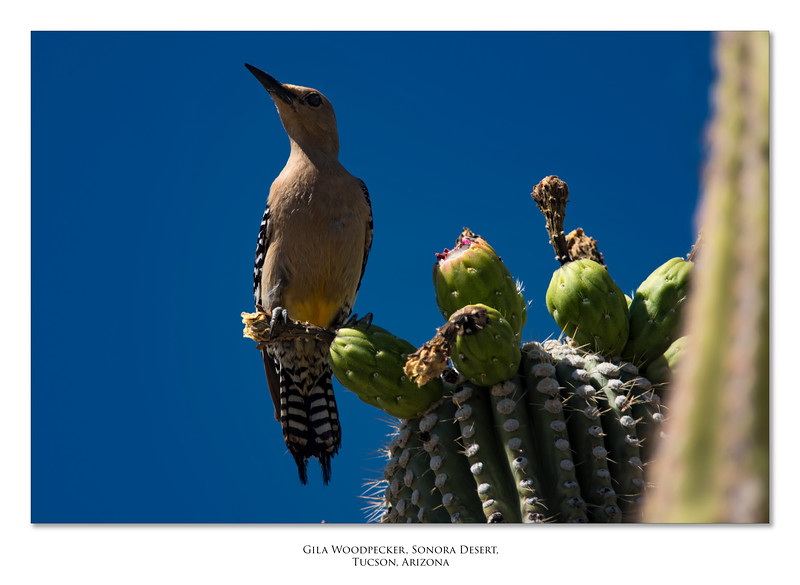 Gila Woodpecker.jpg