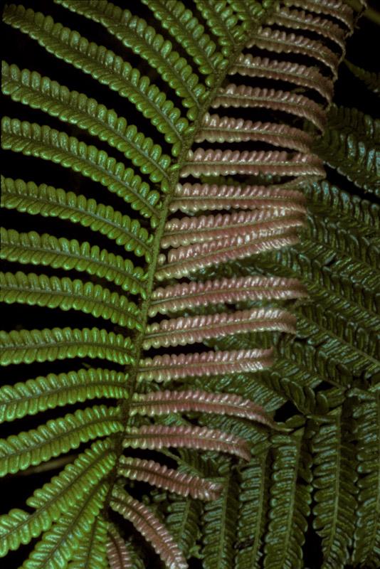 Sadleria pallida (West Maui)